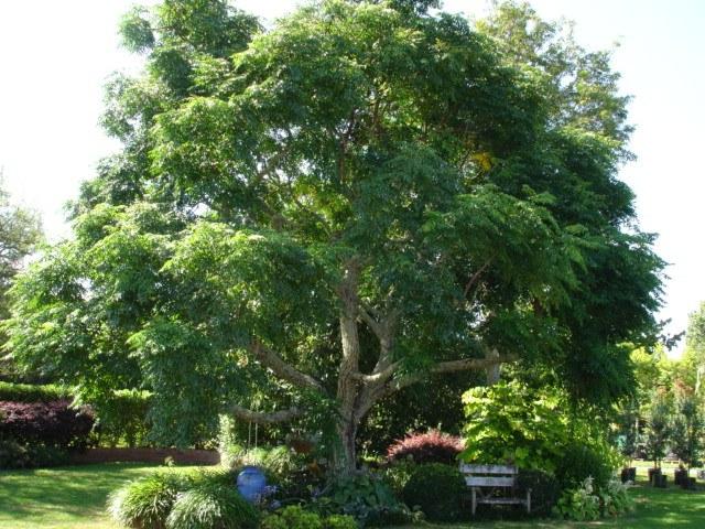 Cinamomo - Melia azedarach - Árbol del paraíso
